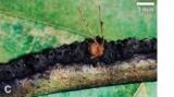 Американські мурахи використовують пастки для полювання