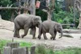 Генетики знайшли сліди схрещування слонів з мамонтами