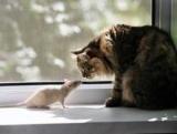 Для кішок вегетаріанців почали вирощувати штучне м'ясо мишей