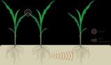 У рослин виявлена система комунікацій через коріння